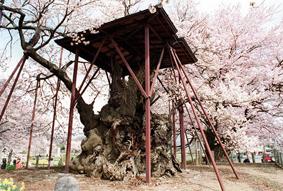 http://www.nihon.ru/img/Festivals/sakura.jpg
